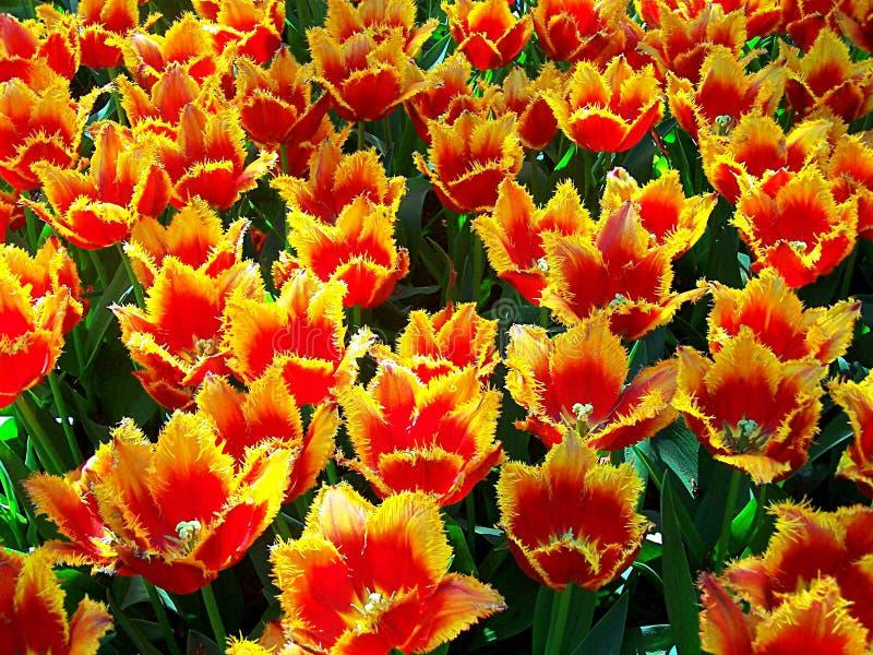 Tulpefeld stockbild
