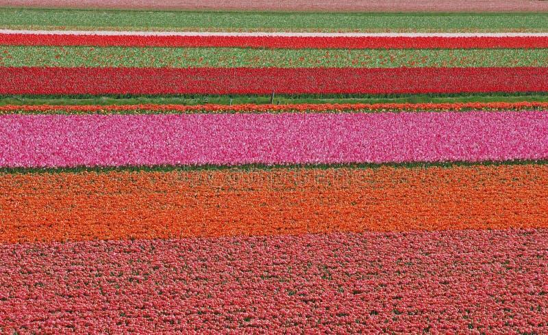 Tulpefeld in den Niederlanden stockfotografie