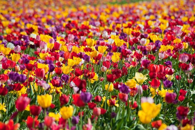 Tulpefelder stockbilder