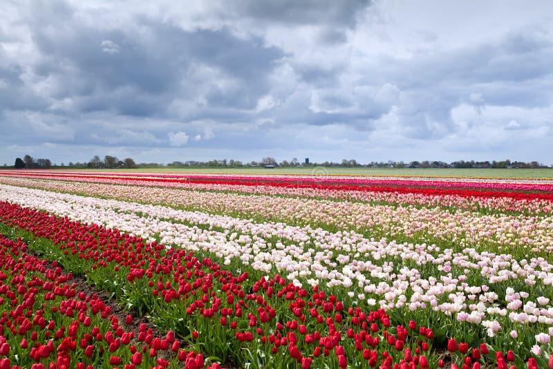 Tulpefelder im niederländischen Bauernhof lizenzfreie stockbilder