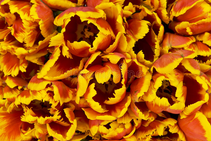 Download Tulpehintergrund stockbild. Bild von hintergrund, gardening - 9092069
