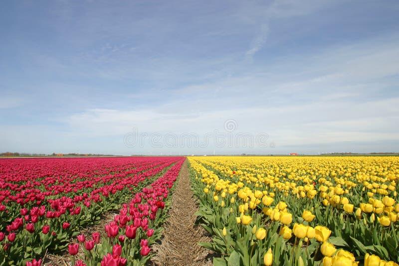 Tulpen 20404-05.jpg photographie stock
