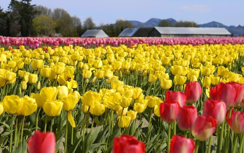 Download Tulpen stockbild. Bild von washington, bunt, field, regenbogen - 31663