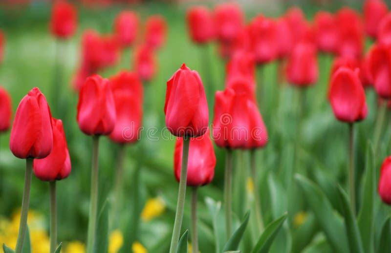 Download Tulpen stock afbeelding. Afbeelding bestaande uit installatie - 39104999