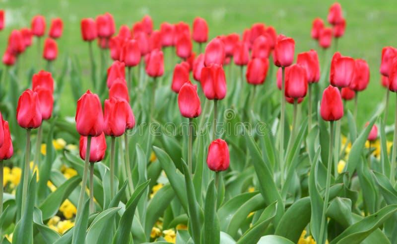 Download Tulpen stock afbeelding. Afbeelding bestaande uit nave - 39105017