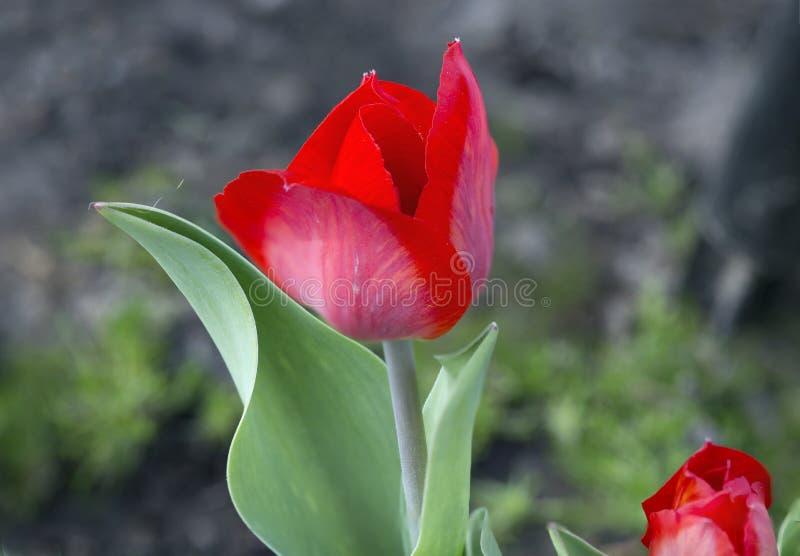 Download Tulpen stock afbeelding. Afbeelding bestaande uit installatie - 54075893