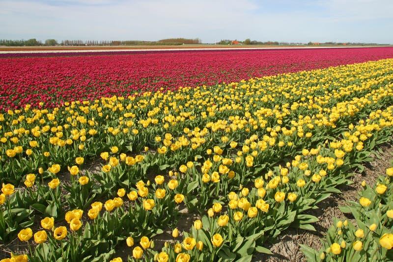 Tulpen   photographie stock libre de droits