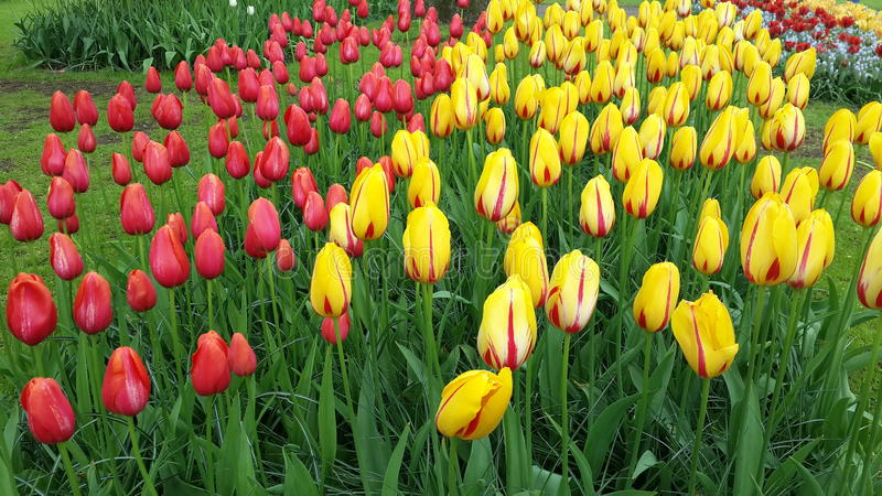Tulpen Amsterdam Holland Flowers Colorful royalty-vrije stock foto's