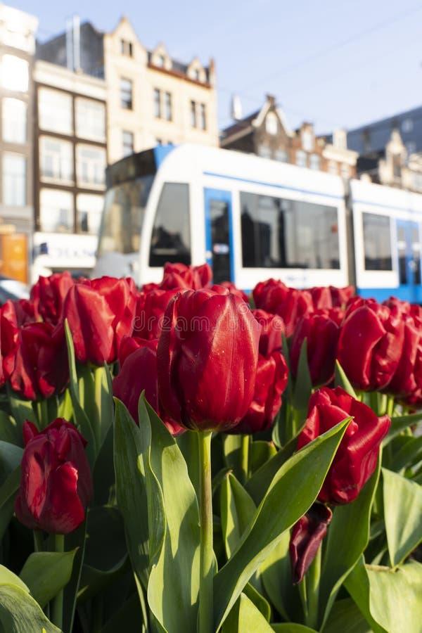 Tulpen in Amsterdam ontmoete een tram op DE achtergrond royalty-vrije stock foto