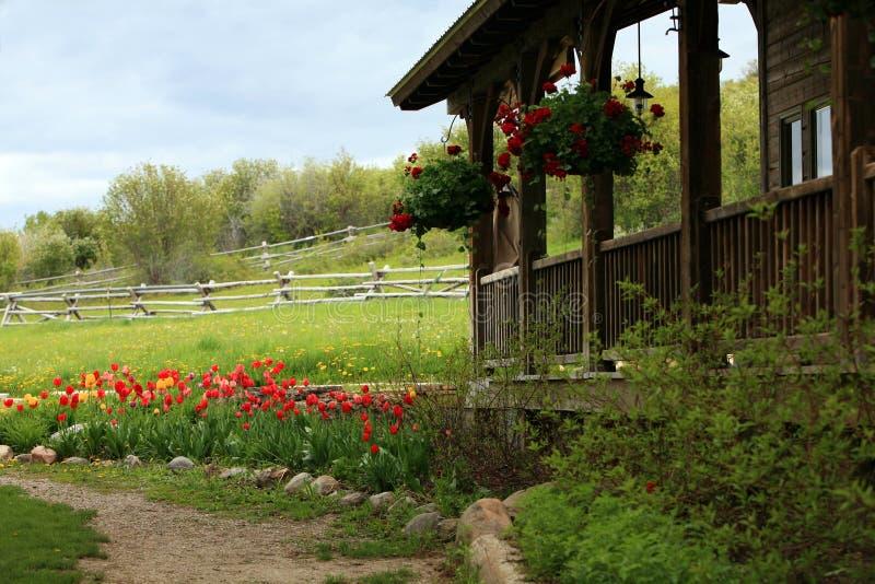 Tulpen bij oud huis op boerderij stock afbeeldingen