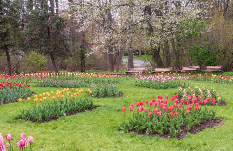 Tulpen blühen unter einem Blumenbaum in Elizabeth Park lizenzfreie stockfotos