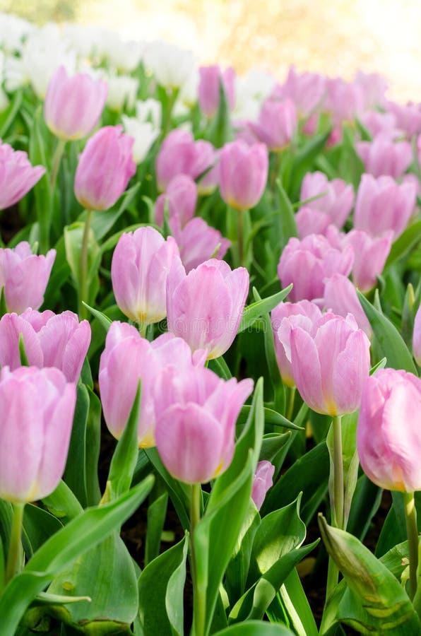 Tulpen-Blume stockbilder