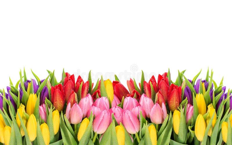 Tulpen de lentebloemen met waterdalingen stock afbeeldingen