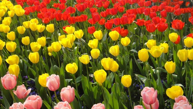 Tulpen in de lentestad van China, yunnan kunming, stock foto