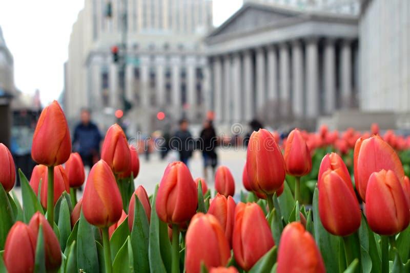 Tulpen in de Stad van New York stock afbeeldingen