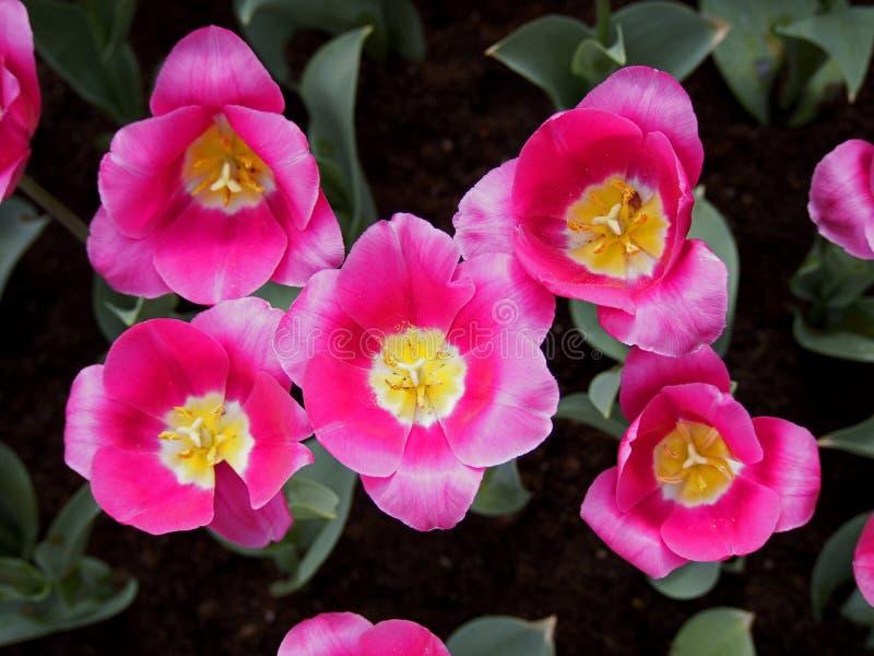Tulpen in de tuin royalty-vrije stock fotografie