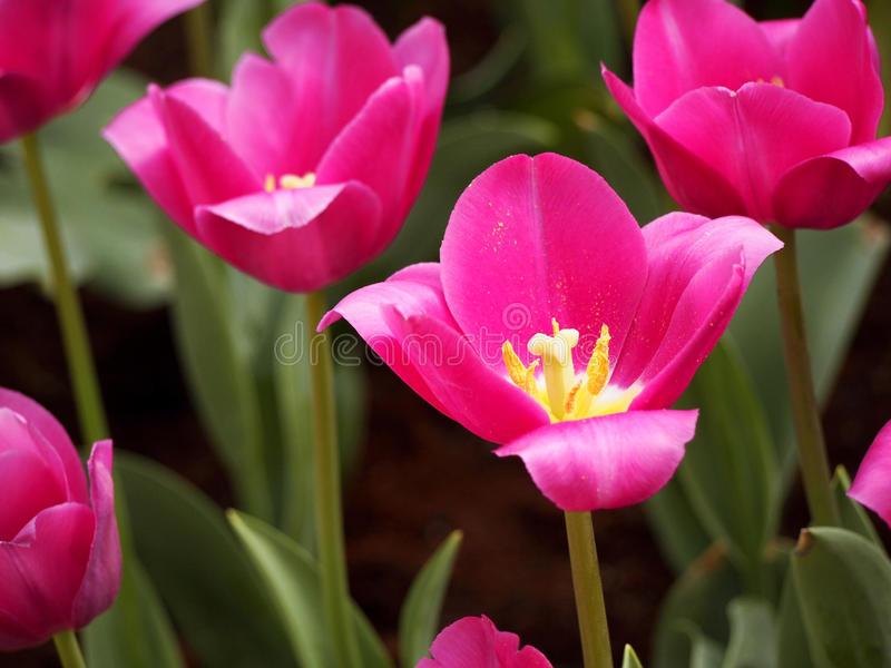Tulpen in de tuin royalty-vrije stock afbeeldingen
