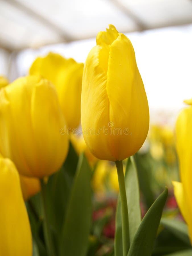 Tulpen in de tuin stock afbeelding