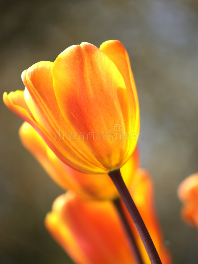 Tulpen in de zon stock foto