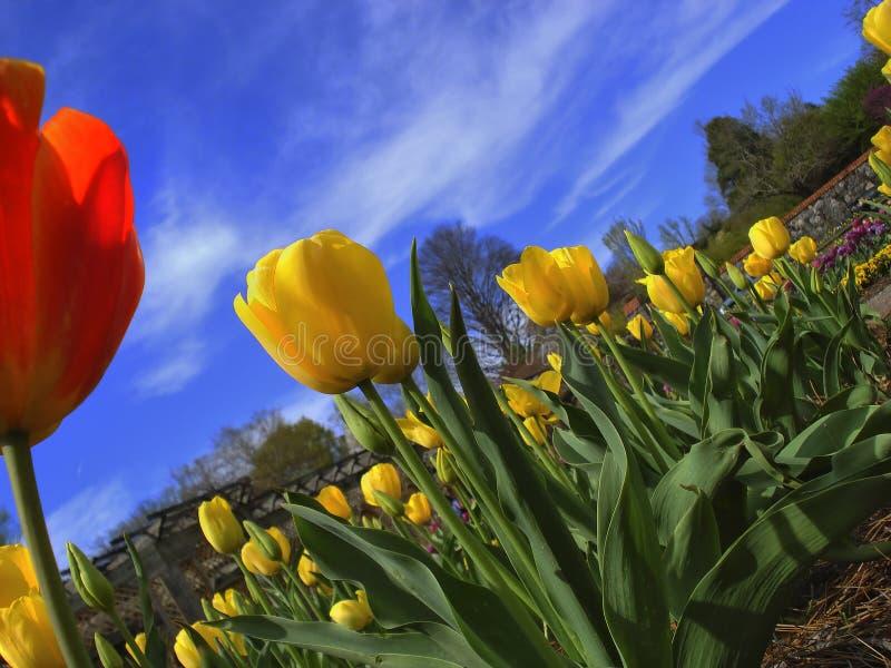Tulpen an den Biltmore Zuständen stockfotos