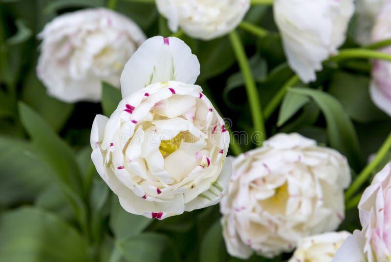 Tulpen in den Niederlanden stockfotografie