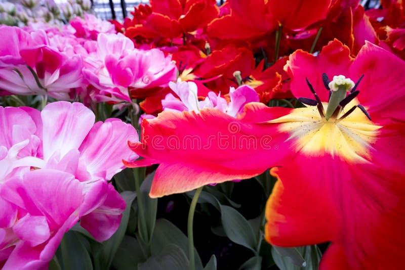 Tulpen in den Niederlanden stockbild