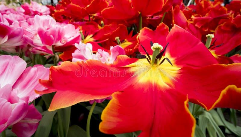 Tulpen in den Niederlanden stockbilder