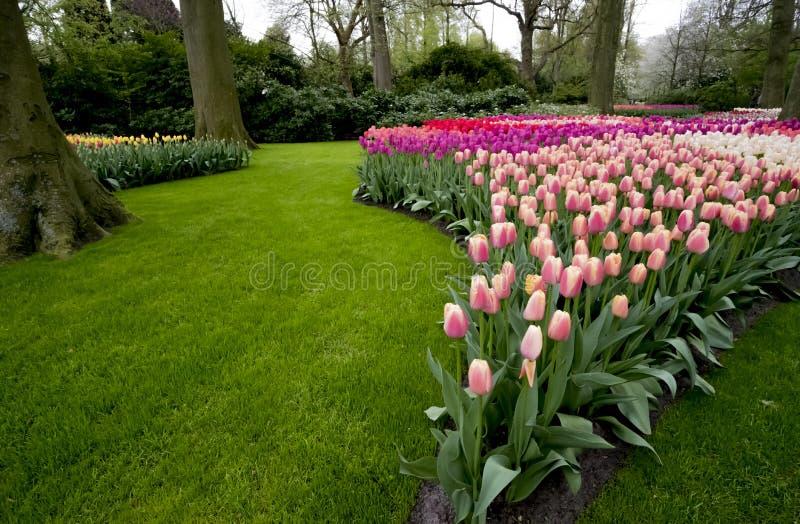 Tulpen in den Niederlanden lizenzfreies stockfoto