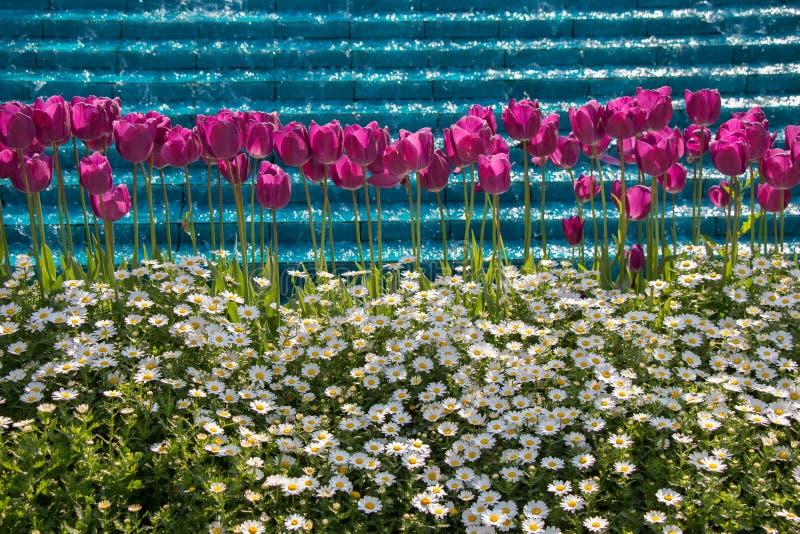 Tulpen die in de lente bloeien stock afbeeldingen