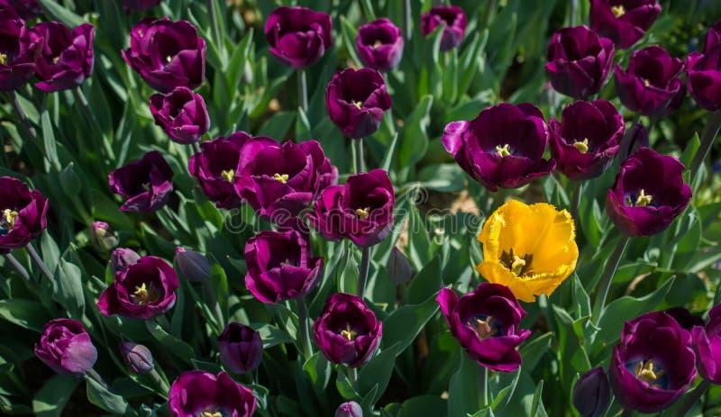 Tulpen die in de lente bloeien royalty-vrije stock foto