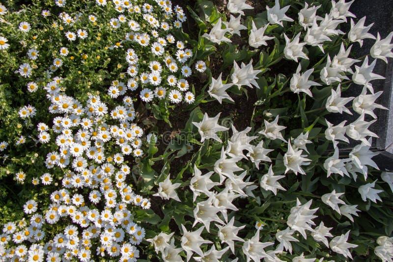 Tulpen die in de lente bloeien stock foto's