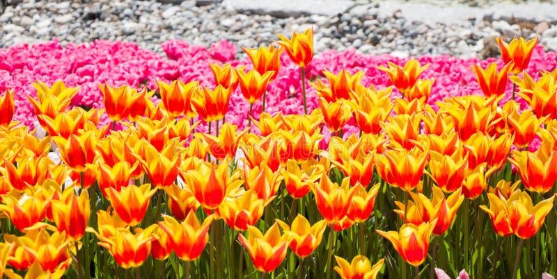 Tulpen die in de lente bloeien stock fotografie