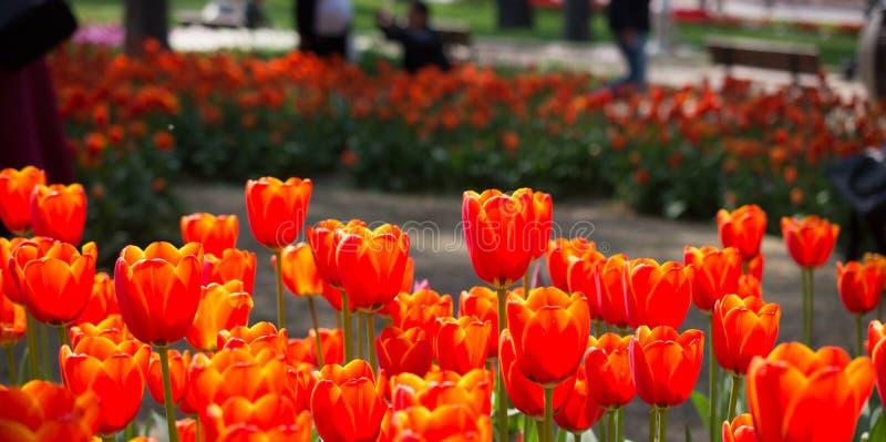 Tulpen die in de lente bloeien royalty-vrije stock fotografie