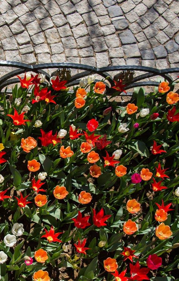 Tulpen die in de lente bloeien royalty-vrije stock afbeelding