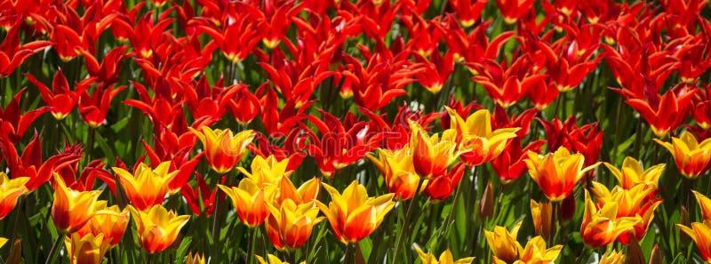Tulpen die in de lente bloeien stock afbeelding