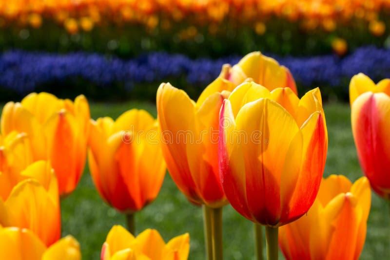Tulpen die in de lente bloeien royalty-vrije stock afbeeldingen