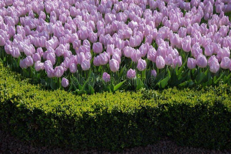 Tulpen die in de lente bloeien stock foto