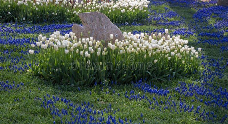 Tulpen die in de lente bloeien royalty-vrije stock foto's