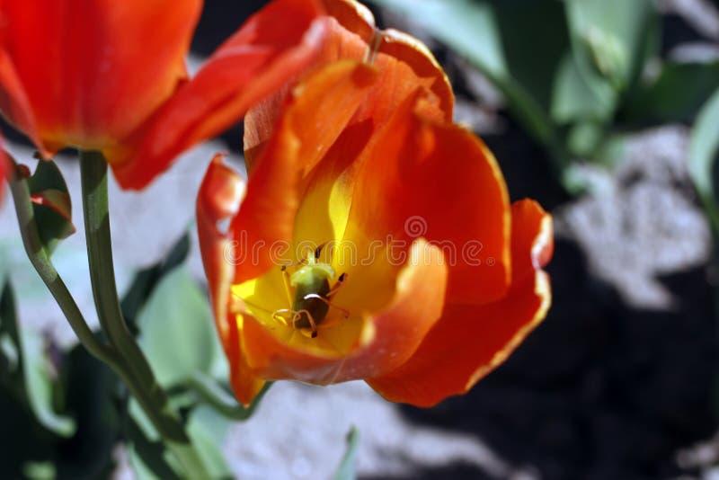 Tulpen die de lentebloemen verbazen Oranje tulpenbloemen van liefde stock afbeelding
