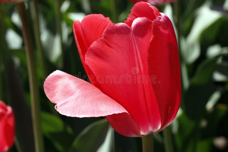 Tulpen die de lentebloemen verbazen Rode tulpenbloemen van liefde royalty-vrije stock foto