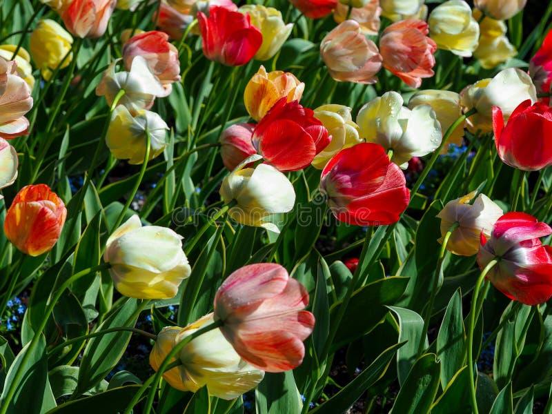 Tulpen, die in der Brise durchbrennen lizenzfreie stockbilder