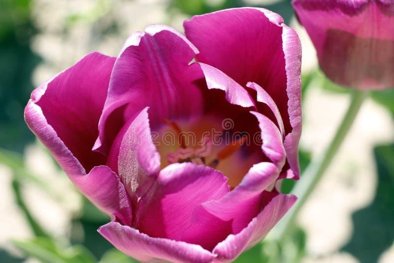 Tulpen, die Frühlingsblumen überraschen Purpurrote Tulpenblumen der Liebe lizenzfreies stockfoto