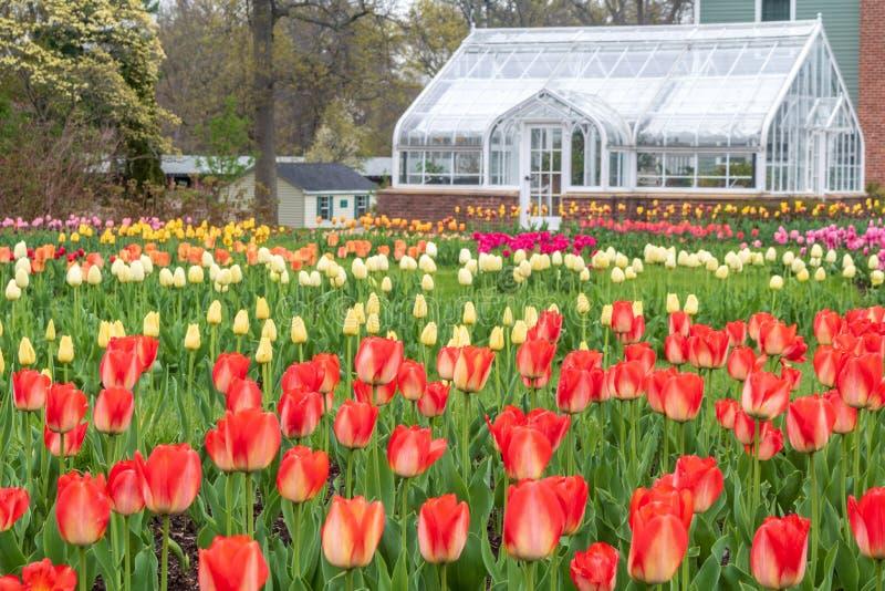 Tulpen, die nahe einem Gewächshaus blühen lizenzfreies stockfoto