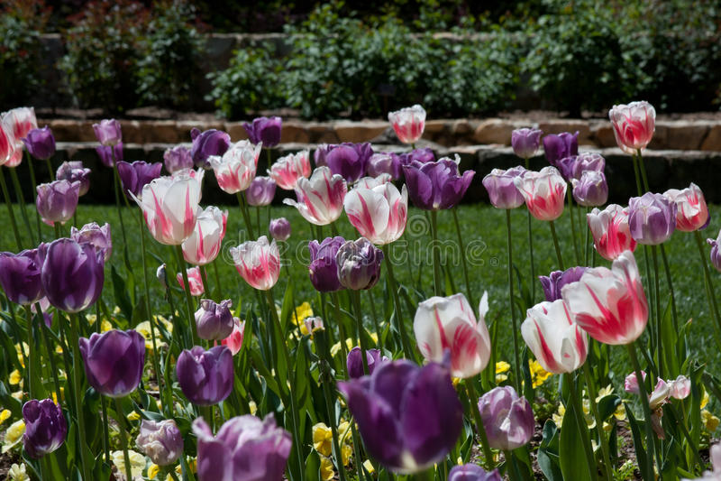 Tulpen in Duke Garden lizenzfreie stockfotografie