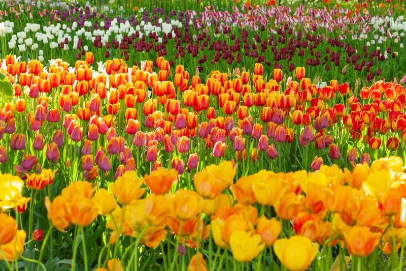 Tulpen E lizenzfreie stockfotografie