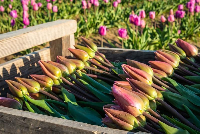 Tulpen in een doos als voorbereiding op verkoop worden gestapeld die royalty-vrije stock fotografie
