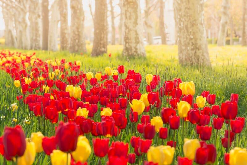 Tulpen in een ochtendlicht royalty-vrije stock afbeelding