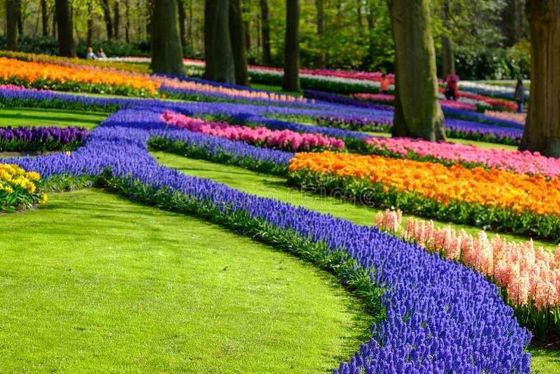 Tulpen en de muscarihyacinten die het meer de onder ogen zien in Keukenhof tuinieren, Lisse, Zuid-Holland r stock foto