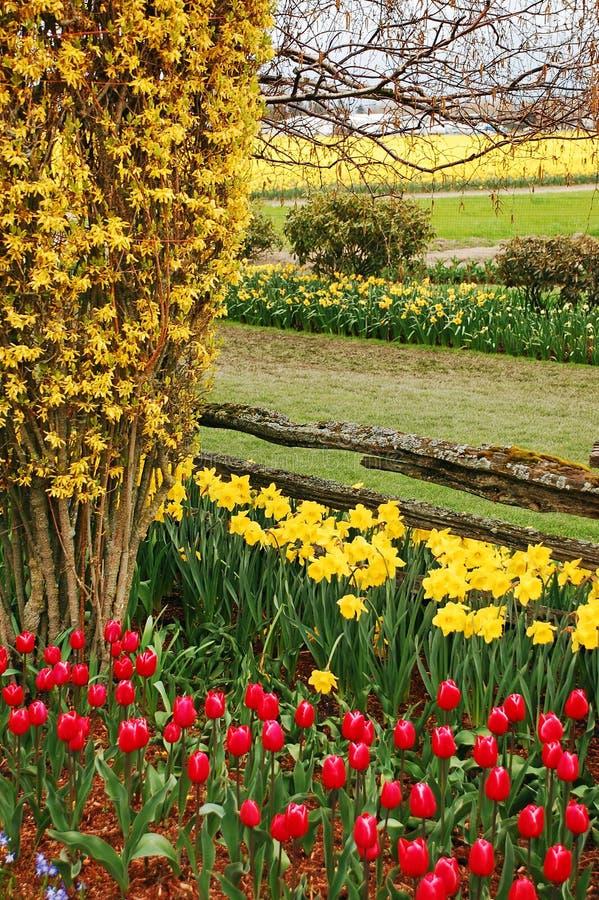 Tulpen en gele narcissen stock fotografie