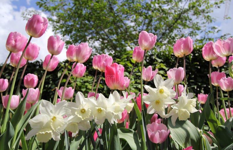 Tulpen en gele narcissen royalty-vrije stock fotografie